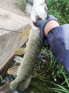 Northern Pike — butchy 974