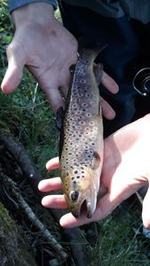 Brown Trout — Paul Maison