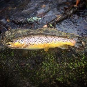 Brown Trout — Eloi Felicelli