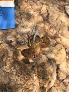 Brown Scorpionfish — Paul Pierre