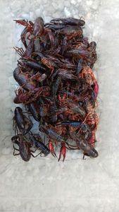 Spinycheek Crayfish — Pêcheur du 10