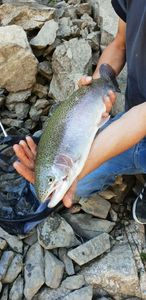 Rainbow Trout — fouilland  guillaume