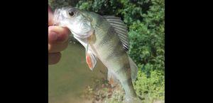 European Perch — multifishing