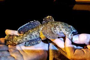 Giant Goby — Ben Benito Rockfishing