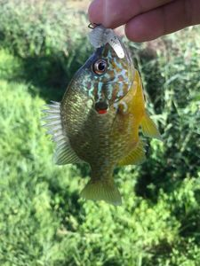 Green Sunfish — Timi Fi-sh