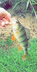 European Perch — Dsg Nicolas
