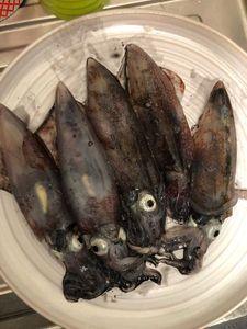 European Squid — Gauthier Coyette 🎣