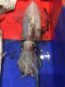 European Squid — Vincent Copaing