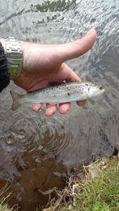 Atlantic Salmon (Juvenile) — geoffrey dubus 🎣