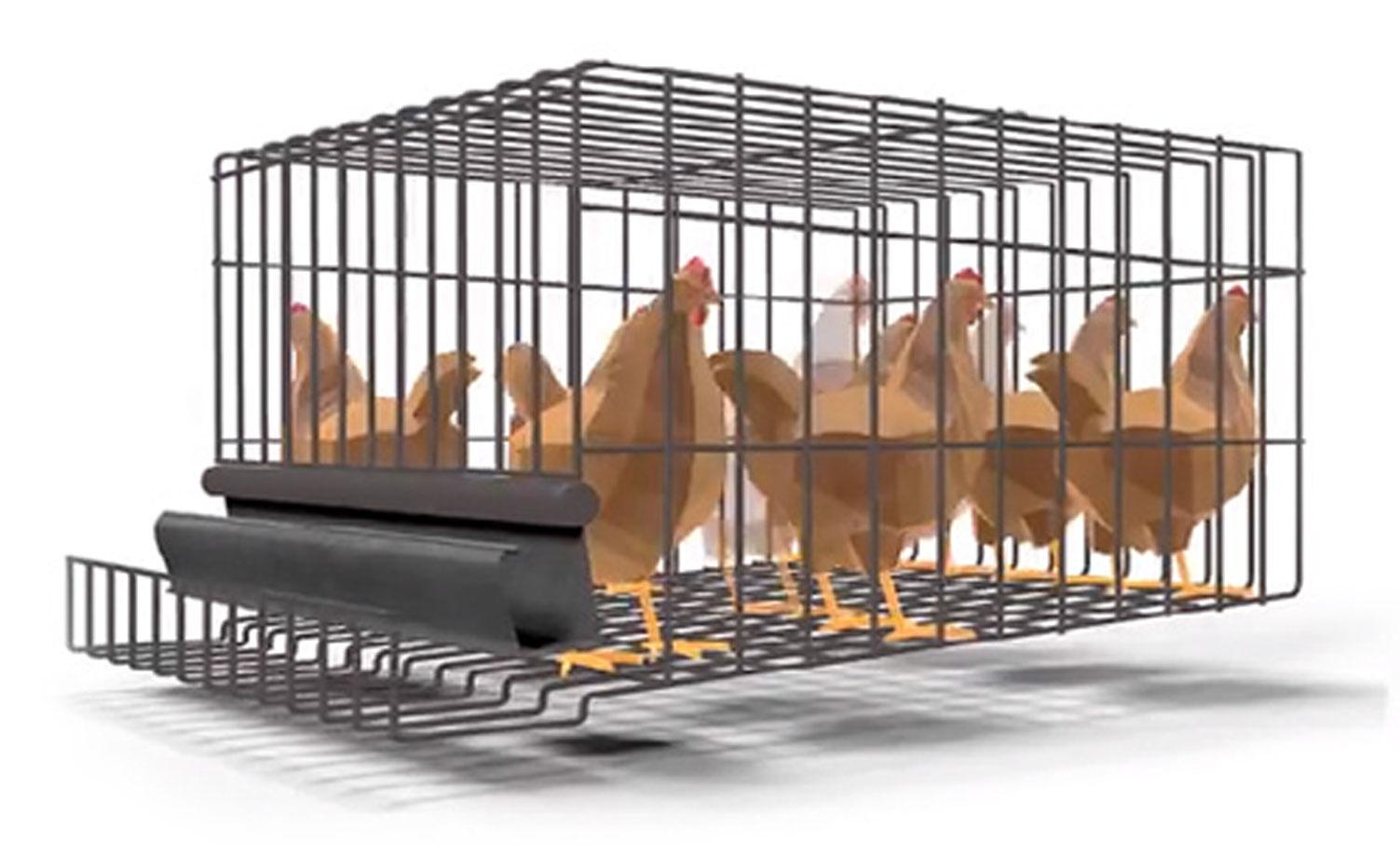 pollos en jaula