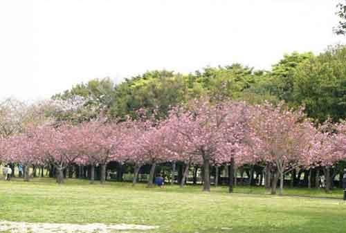 Wisata Bogor - 6 Taman Sakura, Kebun Raya Cibodas - Finansialku