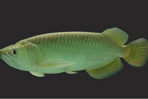 Harga Ikan Arwana 05 Arwana Papua - Finansialku