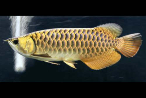 Harga Ikan Arwana 07 Arwana Black Golden - Finansialku