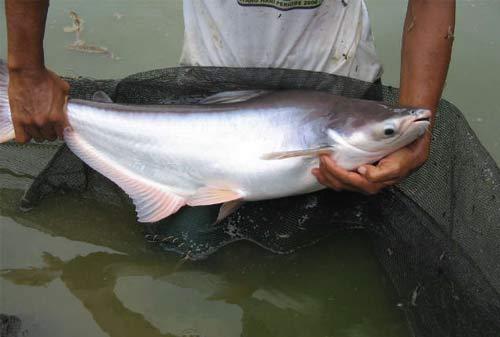 Budidaya Ikan Patin 03 - Finansialku