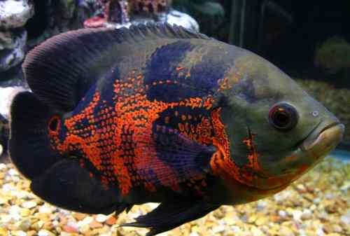 Ikan Hias Air Tawar 11 Ikan Oscar - Finansialku