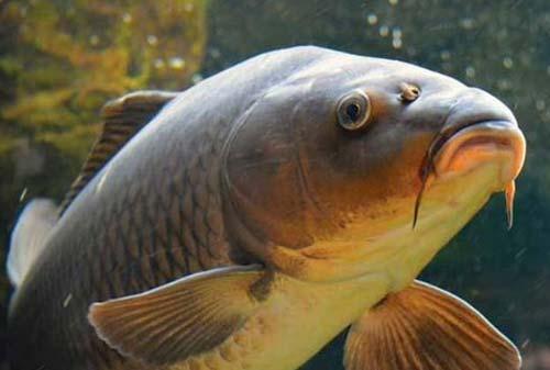 Cara Budidaya Ikan Mas Terbukti Mendatangkan Profit Besar Besaran