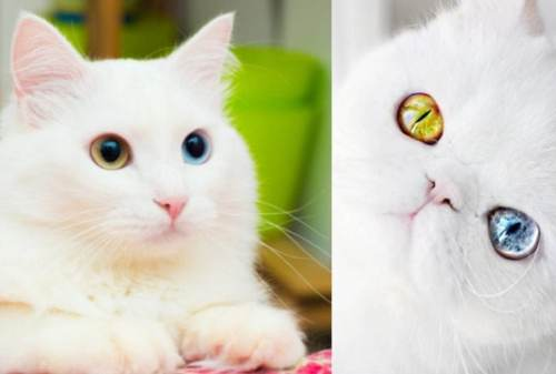 Kucing Anggora_ Informasi Harga, Ciri Fisik dan Cara Merawatnya 03 - Finansialku
