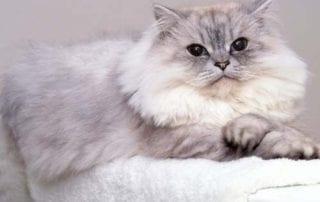 Cara Merawat Kucing Persia Supaya Tetap Sehat (Bonus_ Daftar Harga Kucing Persia) 01 - Finansialku