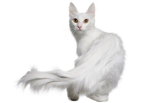 Kucing Anggora_ Informasi Harga, Ciri Fisik dan Cara Merawatnya 04 - Finansialku