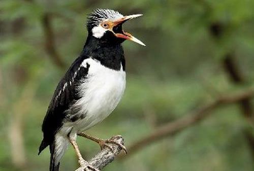Burung Jalak Suren - Finansialku