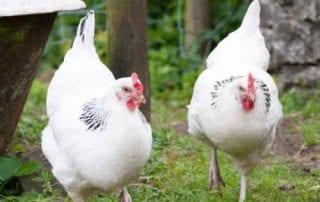Bukan Ayam Bangkok, Ini Dia 10 Ayam Termahal Di Dunia (2)