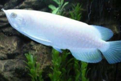 Miliaran Rupiah, 10 Ikan Termahal di Dunia yang Super Langka (3)