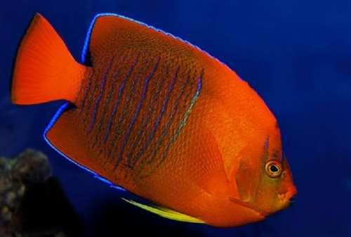 Miliaran Rupiah, 10 Ikan Termahal di Dunia yang Super Langka (2)