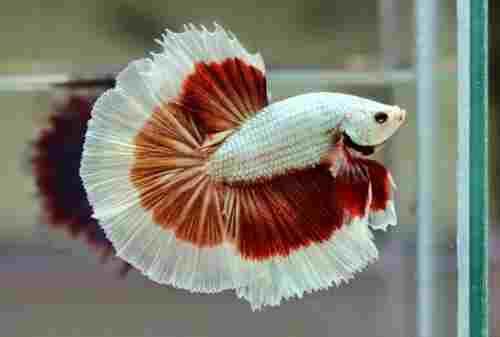 Ini Dia 9 Ikan Cupang Termahal Di Dunia Harga Selangit