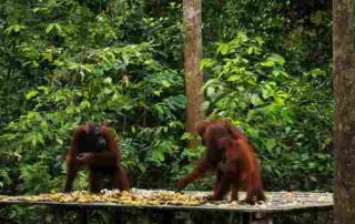 6 Best Activities To Do In The Home Of The Largest Orangutan Population On Earth, Tanjung Puting 00 - Finansialku