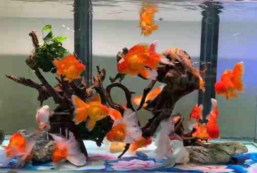 Ini Cara Mengatur Keuangan Bagi yang Hobi Pelihara Ikan Hias! 02 - Finansialku