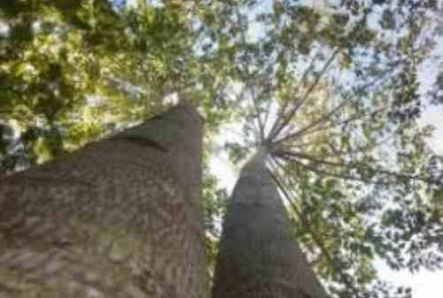 Mau Cuan Malah Rugi, Investor Ini Kepincut Rayuan Investasi Pohon Jabon 01
