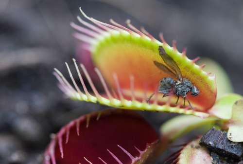 Kenalan Dengan Venus Flytrap, Si Tanaman Pemakan Serangga Yuk! 01