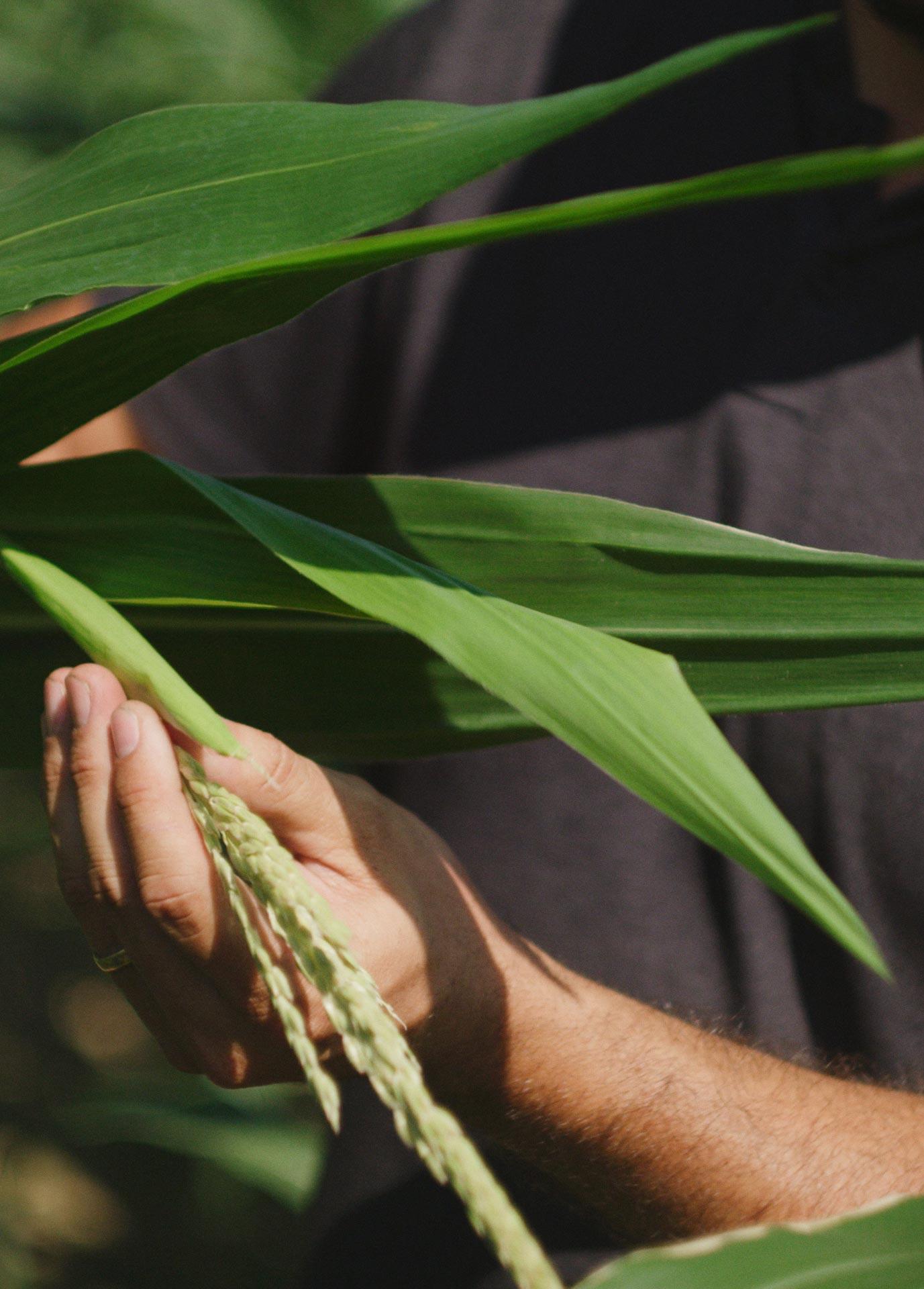 Background image of hand holding wheat.