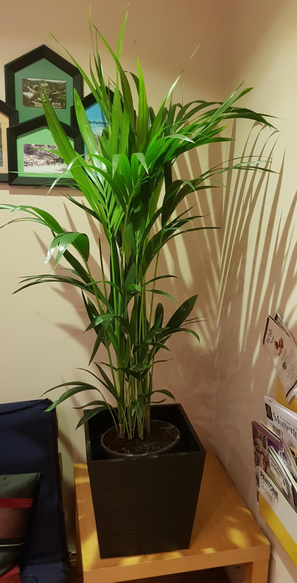 Jardinière À Suspendre Ikea palmier kentia ikea | parfums d'intérieur et d'ambiance pour