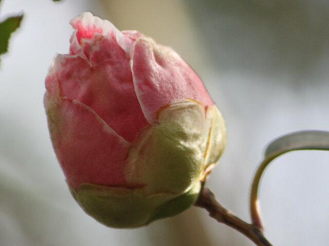 Camellia  Goshikikara-Nishiki