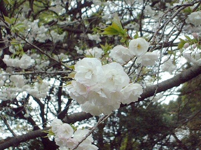 樱花 '雨客栈'