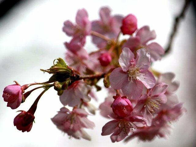 寒桜のブログ