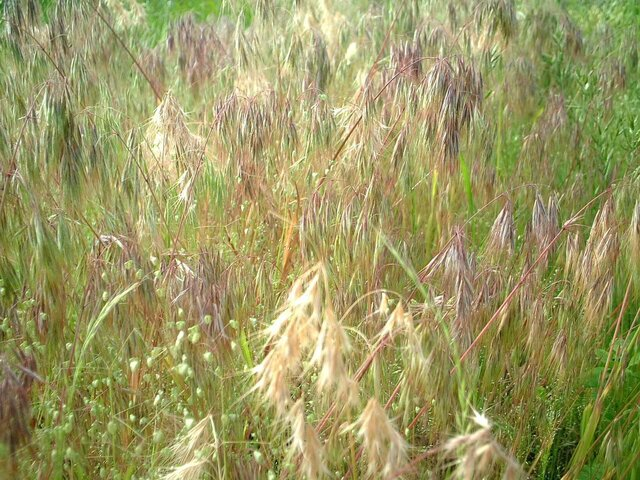 drooping brome