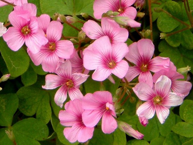 Jointed woodsorrel