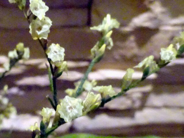 Limonium hybrid