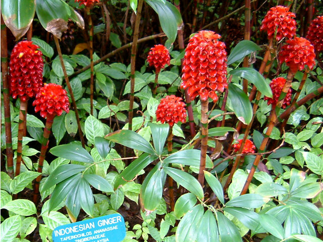 Indonesian wax ginger