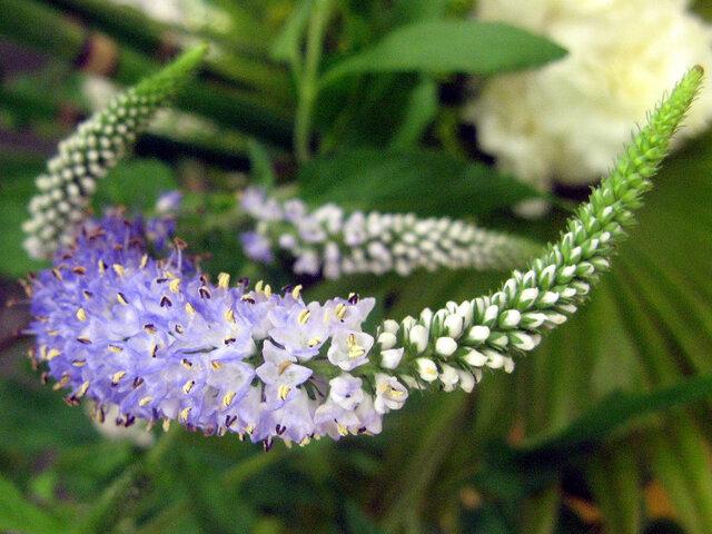 5月28日の誕生花 ベロニカ、アマリリス、スズラン、カキドオシ
