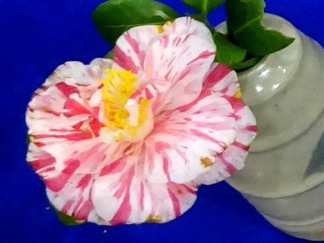 Camellia 'Hanaguruma'