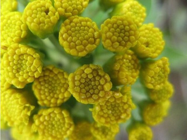 gold and silver chrysanthemum