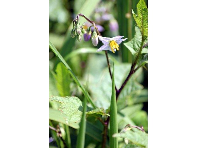 北美刺龍葵