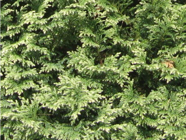 Golden threadleaf sawara cypress