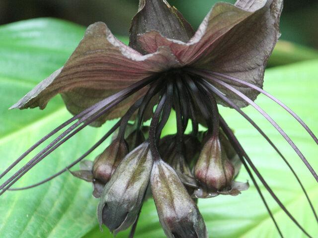 White bat flower
