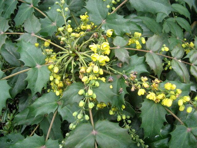 Berberis japonica