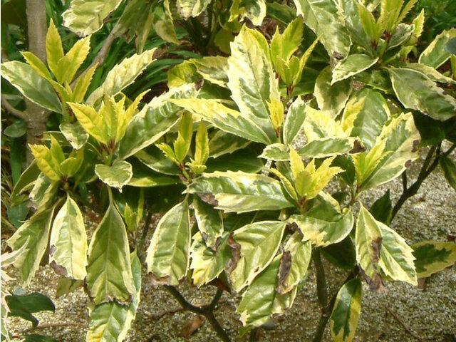 常緑桐'黄覆盖叶'