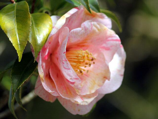 Camellia Hakuronishiki